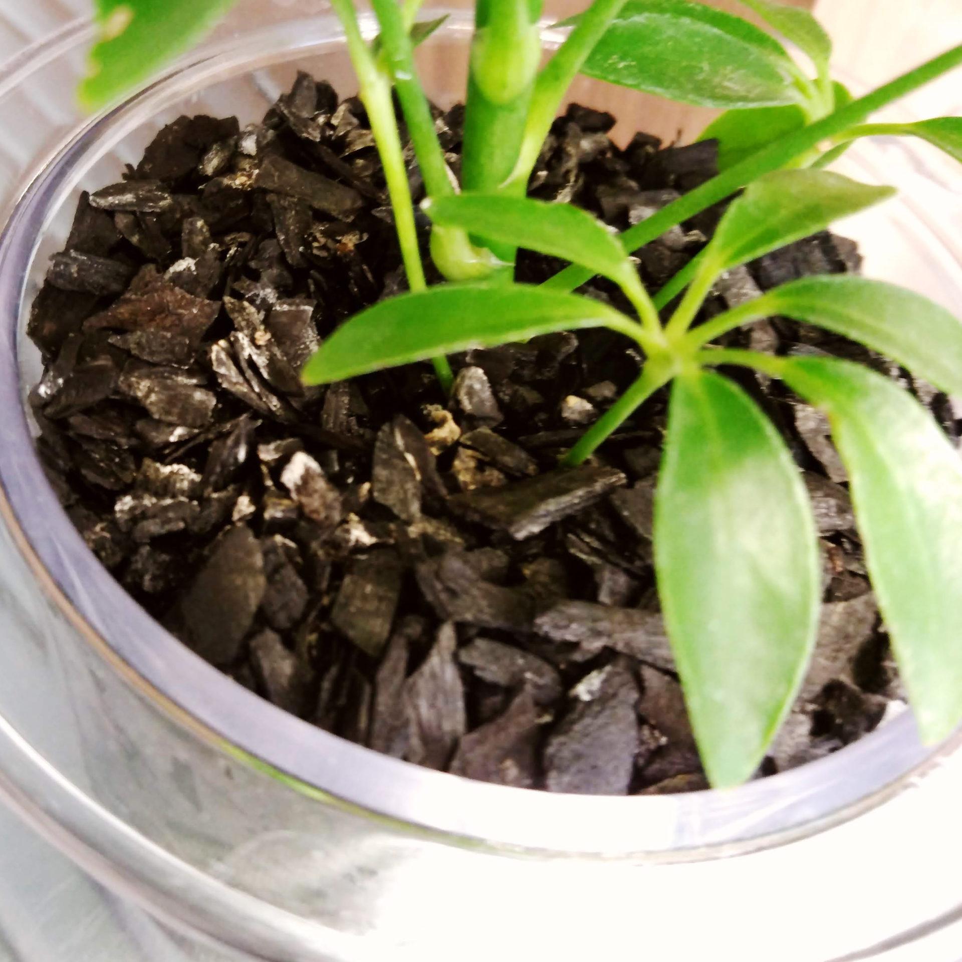 土の代わりに炭に植えられた観葉植物