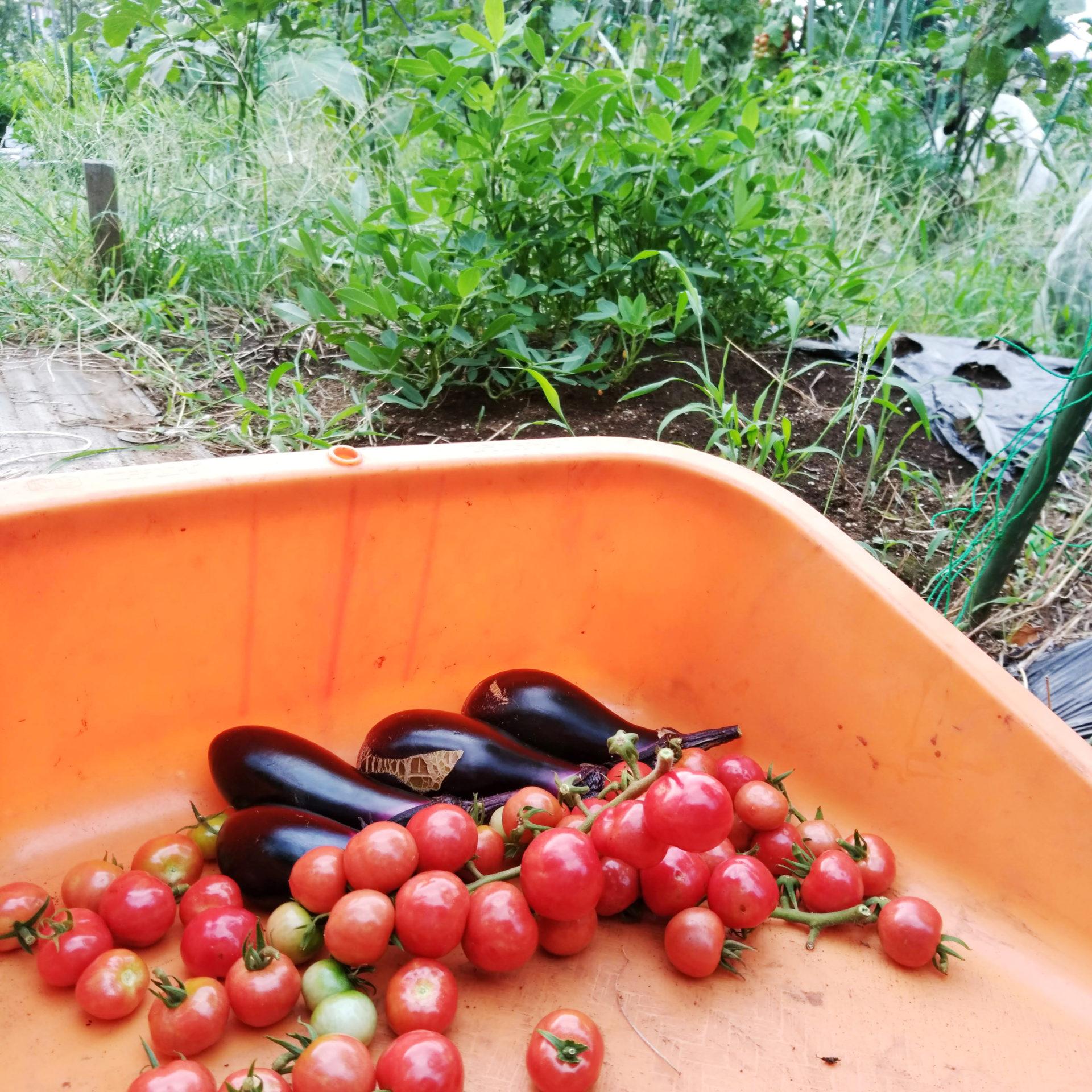 ナスとプチトマトの収穫の様子