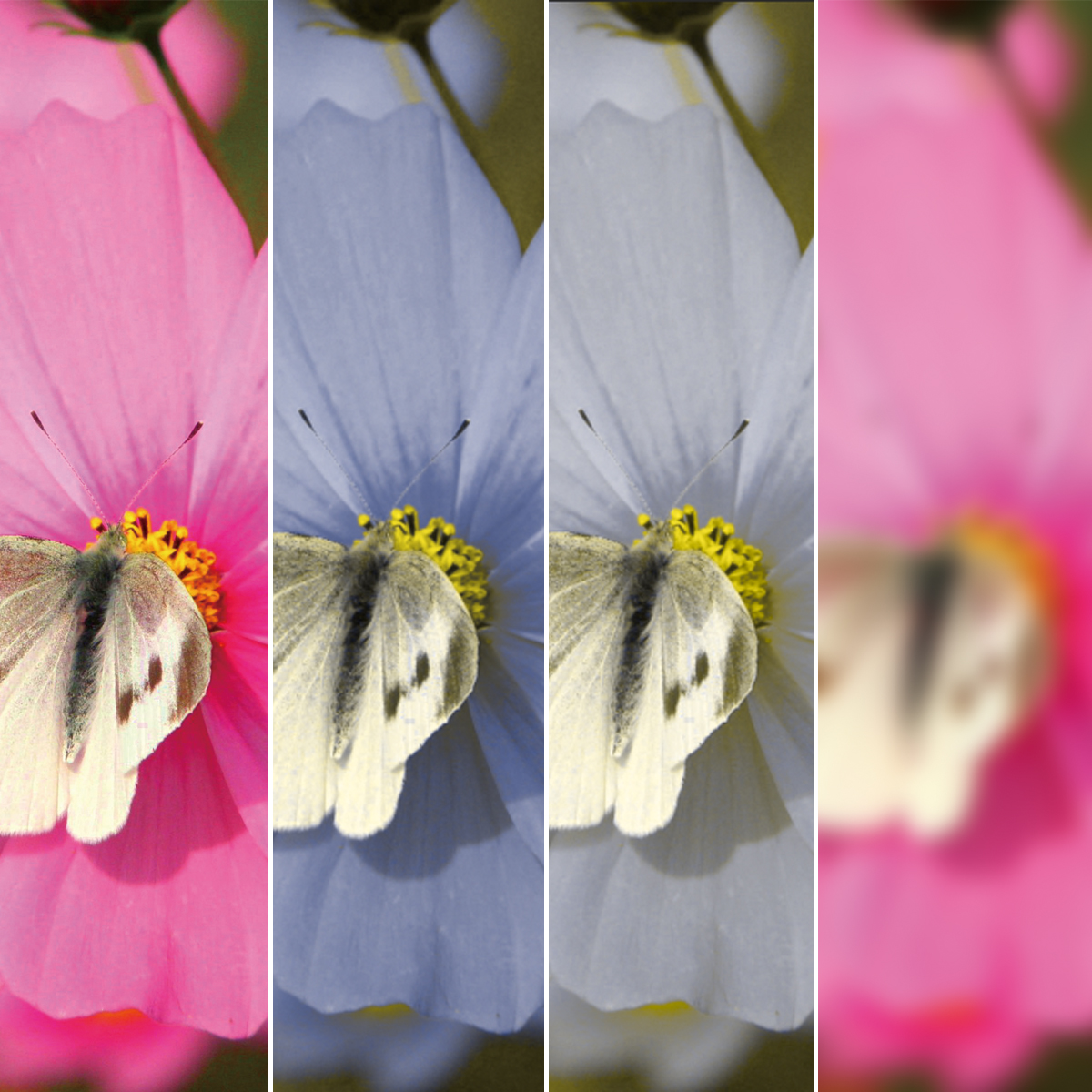 正常色覚色・覚障がい・白内障での見え方の違い